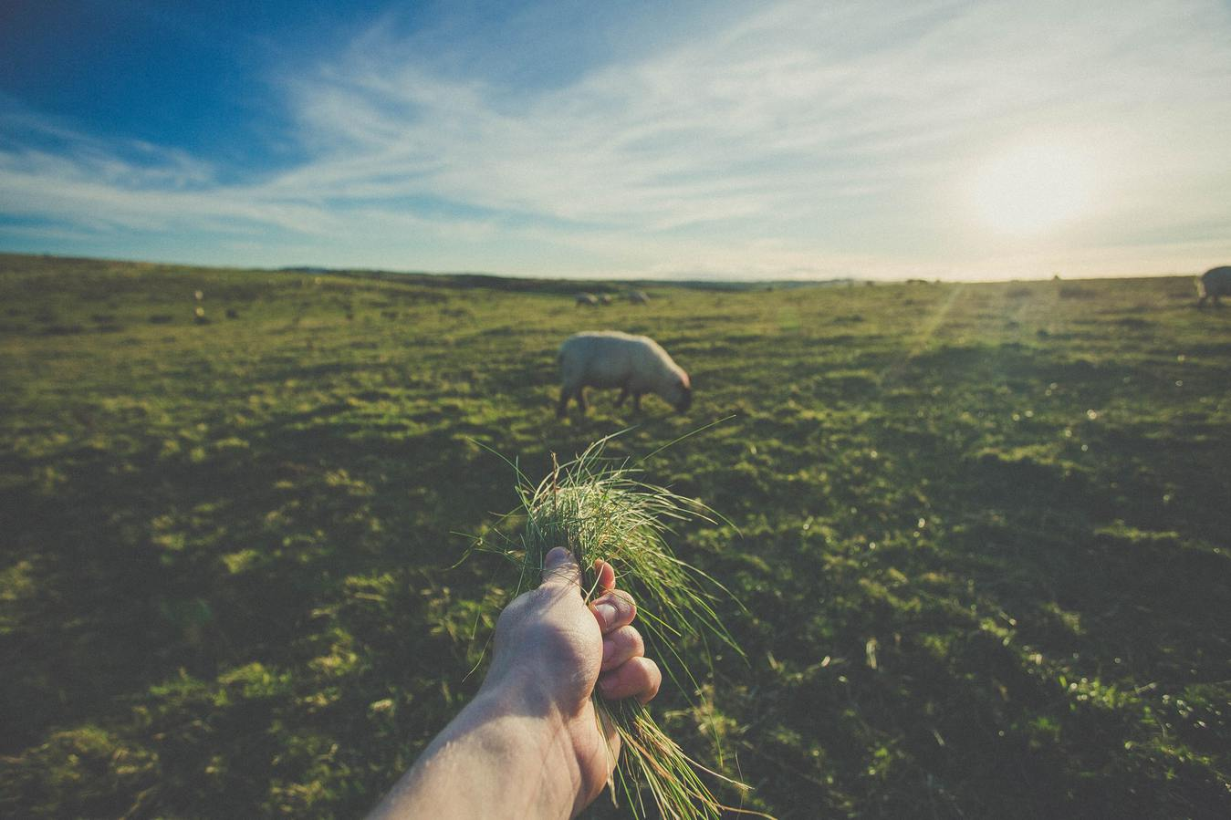 Hand Holding Grass Luring in Sheep in a Field