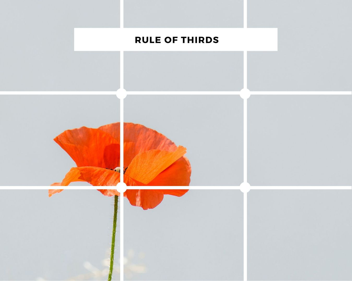 Rule of thirds concept example with a poppy