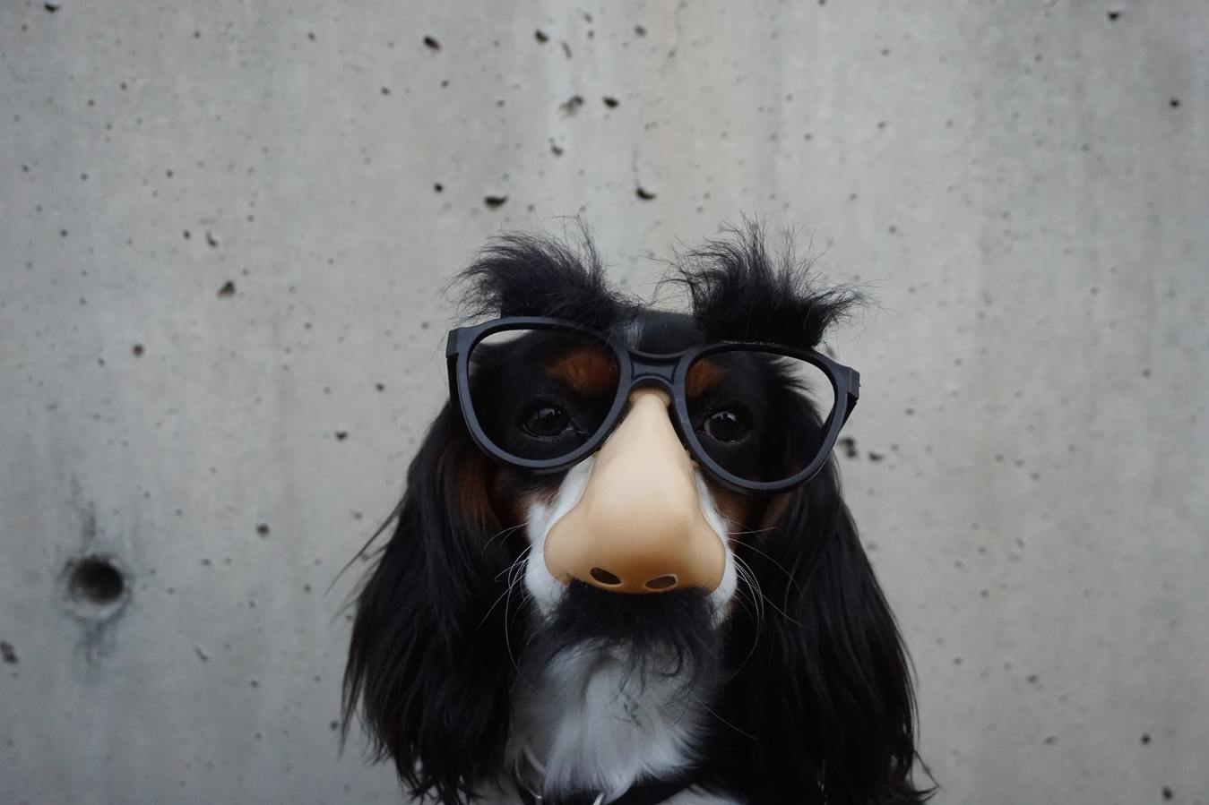Dog in Sunglasses and Fake Nose, Funny