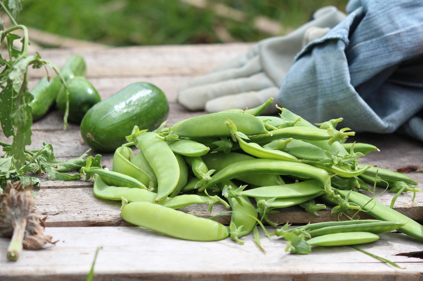 piselli raccolti in un giardino