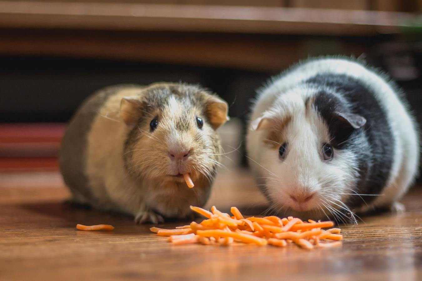 Dua ekor marmut sedang memakan wortel