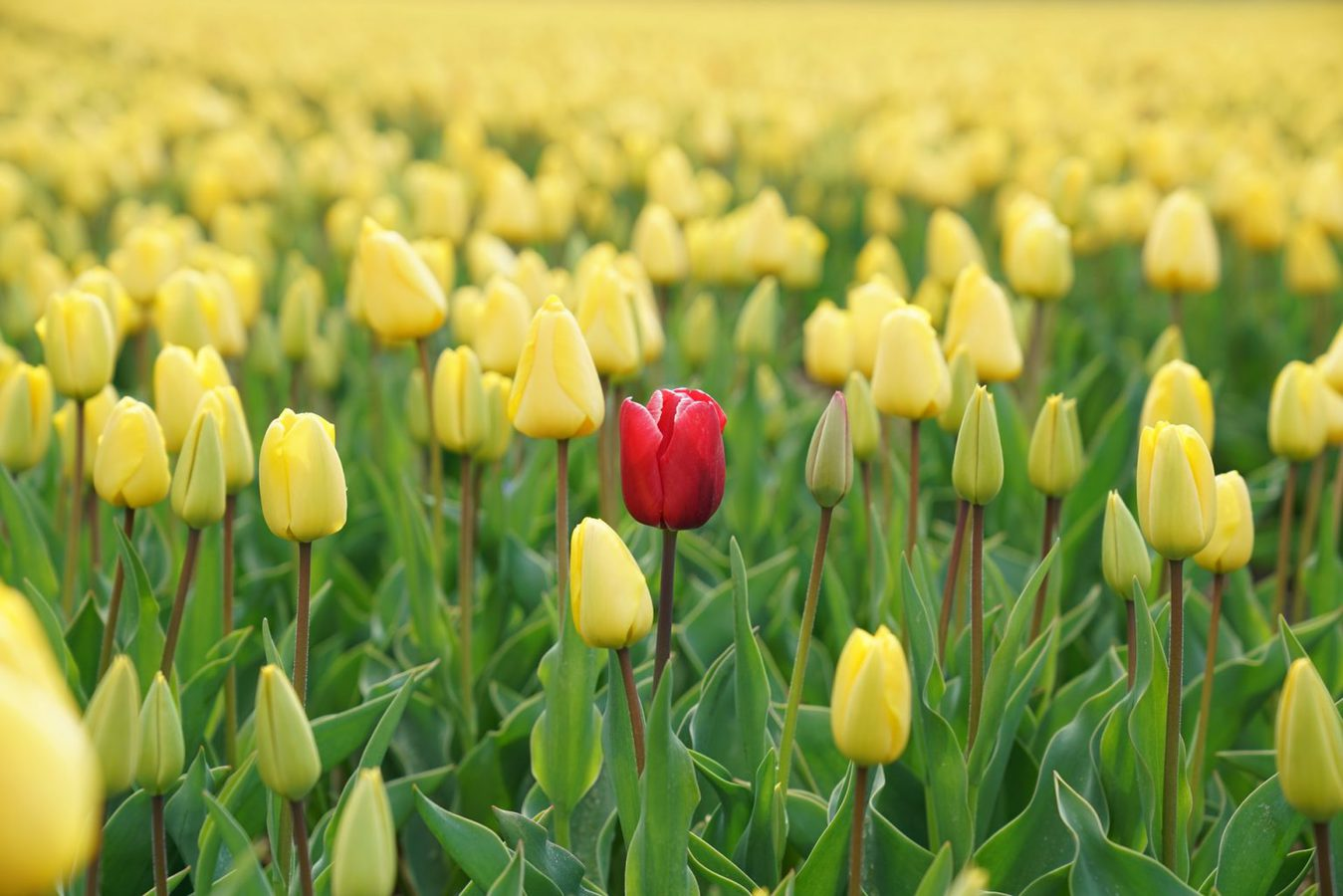 A red tulip in the middle of a field of yellow tulips