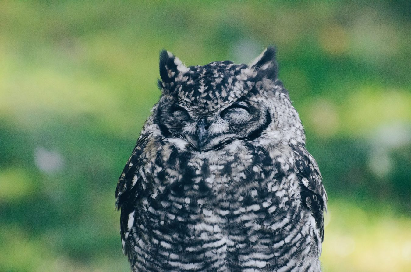 Owl sitting with eyes closed
