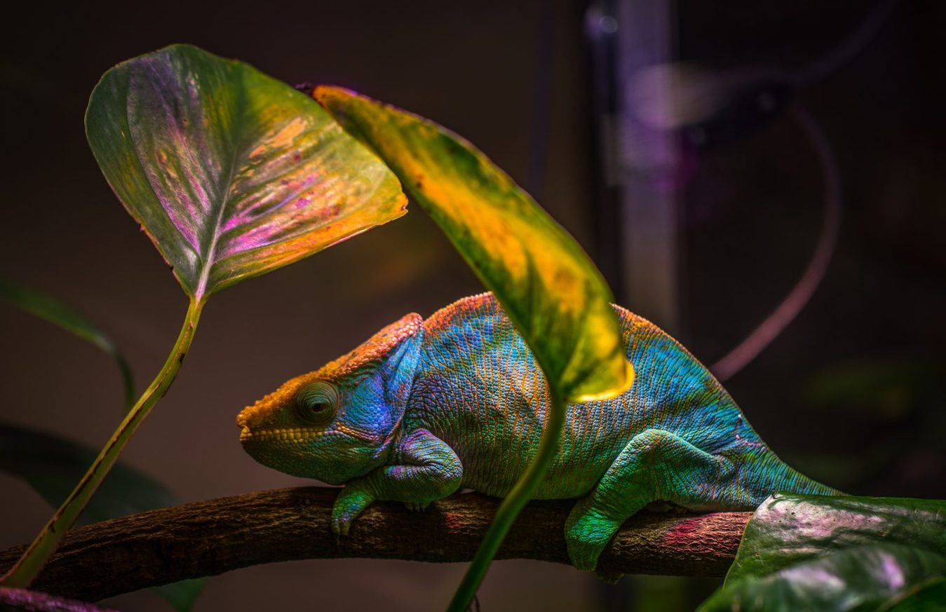 chameleon sitting on branch under leaf